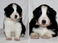 Inzercia psov: FCI male puppy