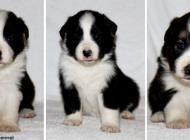 Inzercia psov: FCI female puppy