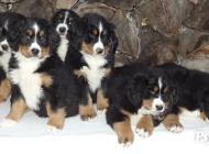 Inzercia psov: salašnický pes, bernsk...