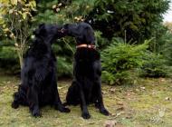 Inzercia psov: Štěňata Flat Coated Re...