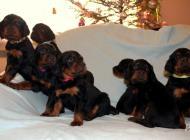 Inzercia psov: Štěňata gordonsetra s ...