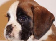 Inzercia psov: šteniatka boxerov na p...