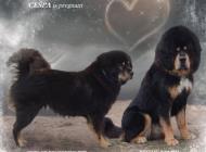 Inzercia psov: Tibetská doga s PP šte...