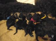 Inzercia psov: Pude velký černý
