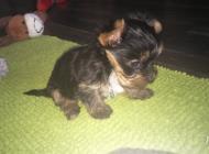 Inzercia psov: Yorkshirsky terier mini