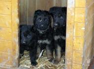 Inzercia psov: Německý ovčák - štěňat...