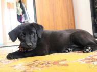 Inzercia psov: Labradorske šťeňa