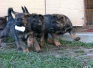 Inzercia psov: Šteniatko nemecký ovči...