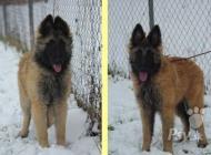 Inzercia psov: Štěňata Belgický ovčák...