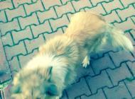 Inzercia psov: Predám dlhosrstú kóliu