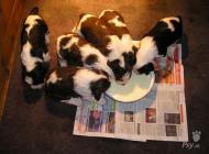 Inzercia psov: Anglický špringršpaněl