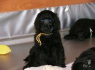 Inzercia psov: Pudel velký černý