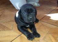 Inzercia psov: šteniatka na predaj