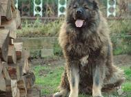 Inzercia psov: Kaukazský ovčiak - šte...