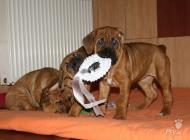 Inzercia psov: Puppies from World Win...