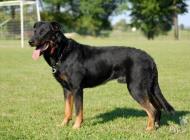 Inzercia psov: Beauceron - štěňátka n...