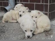 Inzercia psov: Predám šteniatka SAO