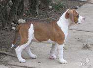 Inzercia psov: AMERICKÝ STAFORDŠÍRSKY...