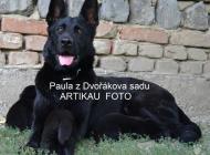 Inzercia psov: NEMECKÝ OVČIAK s PP 09...
