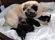 Inzercia psov: Mops - černá štěňátka ...