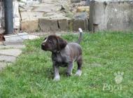 Inzercia psov: Italský spinone štěňata