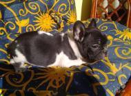 Inzercia psov: Francúzsky buldoček št...