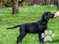 Inzercia psov: Štěně Flat Coated Retr...