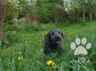 Inzercia psov: Irský vlkodav štěňátko...