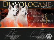 Inzercia psov: Bílý švýcarský ovčák, ...