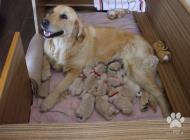 Inzercia psov: Šteniatka zlatého retr...