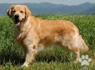 Inzercia psov: zlaty retriever