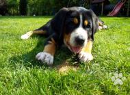 Inzercia psov: Štěně Velký Švýcarský ...