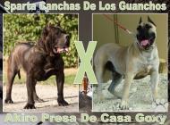 Inzercia psov: Dogo Canario šteňa NA ...
