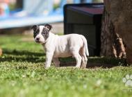 Inzercia psov: Stafordšírský Bulteriér