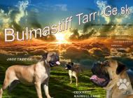 Inzercia psov: Puppy for sale Bullmas...
