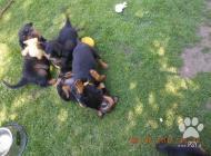 Inzercia psov: Nabízíme štěňátka RTW ...