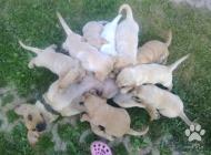 Inzercia psov: Labradorka x Zlaty ret...