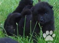 Inzercia psov: Německý špic velký čer...