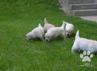 Inzercia psov: ZLATÝ RETRIEVER - ŠTEN...