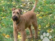 Inzercia psov: Irský teriér - štěně p...