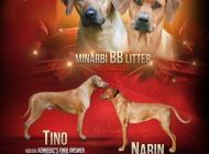 Inzercia psov: Minarbi kennel  rhodes...