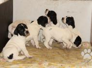 Inzercia psov: Štěňata Pointera