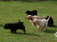 Inzercia psov: Hovawart - ideálny rod...