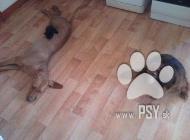Inzercia psov: adela