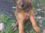 Inzercia psov: Šteniatka Írskeho teriéra
