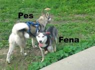 Inzercia psov: Rezervácia šteniat sib...