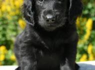 Inzercia psov: Štěňátka flat coated r...