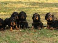 Inzercia psov: Zadám štěňátka Gordons...