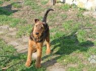 Inzercia psov: Airedale terrier (erde...