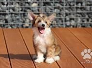 Inzercia psov: Čínský chocholatý pes ...